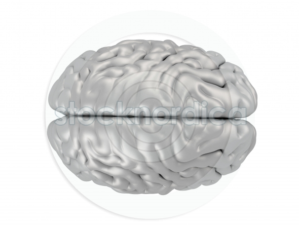 Brain isolated on white top view