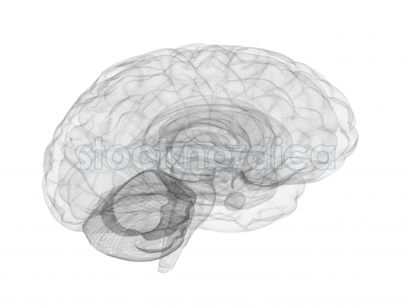 Brain wire frame model